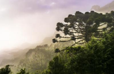 Reforestation of Brazil's Araucaria Tree